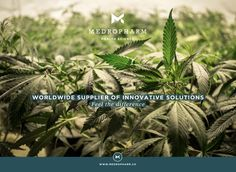 Marijuana stock photos and royalty-free images, vectors and illustrations Medical Cannabis, Cactus Plants, Medicine, Therapy, Exhibit, Hemp, Stock Photos, Feelings, Content