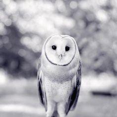 Barn Owl Print - Woodland Animal Photography Print - Owl Art Print - Owl Photograph - Barn Owl Photo - Black and White Animal Art Print. Owl Bird, Bird Art, Pet Birds, Crow Art, Beautiful Owl, Animals Beautiful, Black And White Birds, Owl Photos, Owl Print