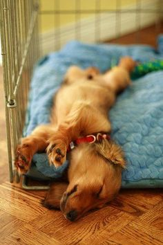 One of the signs that your dog's back is pain free, is when it starts stretching or curling up when sleeping. G'night all :) - photo via Dodgerslist - News events about disc disease on fb via @KaufmannsPuppy