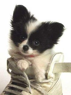 Papillon Puppy in a Shoe by zaeyde, via Flickr