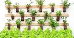 Começamos o dia com essa linda inspiração: 🌱hortinha  sustentável🌱 Saíndo Agora para visitar o IG dos amigos! Já já chego aí 🌸🌷🍀🌸🌷🍀🌸🌷 🌱🍀❤🍀🌱🍀❤🍀🌱🍀❤🍀🌱🍀❤🍀❤🍀❤🍀❤🌱❤🍀❤🍀🌱🍀❤🌷🌱🌷🌱🌷🌱🌷 #hortaemvasos #hortaurbana #hortaemapartamento #instagarden  #reciclagemcriativa #hortacaseira  #flores #flowers #instanature #instagarden #coentro #cilantro #caixotedefeira #gardener  #encontrandoideias #reaproveitar #minhahorta #jardimvertical #decoracaocriativa #reciclagem…