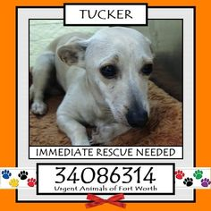 \r\n**Fort Worth, TX - Current Status: IMMEDIATE RESCUE NEEDED\r\n\r\nReason for URGENT: Hit by car - limping, road rash\r\n X-rays do not show any fractures\r\n\r\nAnimal ID: 34086314\r\n Name: Tucker\r\n Breed: Chihuahua mix\r\n Sex: Male\r\n Age: 10 months\r\n Weight: 13 lbs\r\n Heartworm Negative\r\n\r\nIntake: 11\/28\r\n Found: 3900 blk Pate Dr\r\n\r\nPersonality\r\n 11\/30: Tucker is a staff favorite. - Ginger\r\n