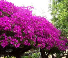 How to Grow Bougainvillea. Bougainvillea is a tropical, shrub-like vine that bursts forth with colorful flowers for 11 months of the year if it's planted in the right climate. To grow bougainvillea, plant it in full sun, slightly acidic. Colorful Plants, Cool Plants, Tropical Plants, Tropical Gardens, Drought Resistant Plants, Drought Tolerant Landscape, Desert Landscaping Backyard, Front Yard Landscaping, Landscaping Ideas