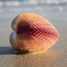 heart shells | Giant Heart Cockle | Plagiocardium Pseudolima | Beach Shells