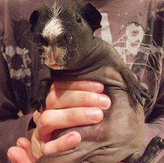 Everything about why I want skinny pig, in this photo <