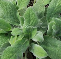 Lamb's Ear Filler 10 Bunches | 100 Stems $14.50 per bunch ($144.99), 20 Bunches | 200 Stems $9.75 per bunch ($194.99)