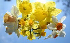 νάρκισσους, λουλούδια, κίτρινο, την άνοιξη