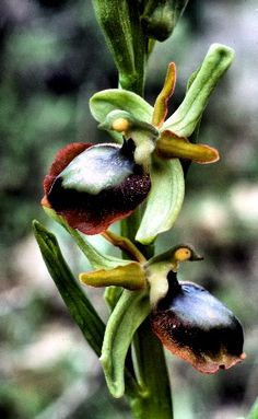 Orchid: Ophrys alasatica (Hypo-chromic-form)
