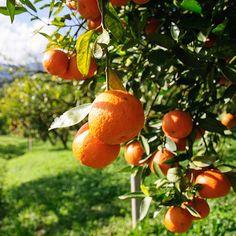 14 Foods With More Vitamin C Than an Orange Citrus Trees, Orange Trees, Kumquat Tree, Indoor Trees, Fast Growing Trees, Essential Oils For Skin, Aquaponics System, Aquaponics Fish, Orange Aesthetic