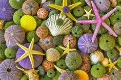 Sea Urchins and Starfish Shells Purple and Green