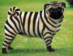 pug painted as zebra