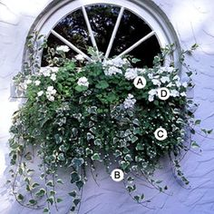 Geranium (Pelargonium 'Orbit White'), Ivy (Hedera helix 'Glacier'), Bacopa (Sutera 'Snowstorm'), Impatiens 'Xtreme White' ... lovely monochromatic combo.