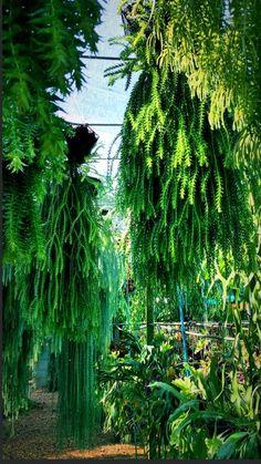 Tropical Garden, Tropical Plants, Air Plants, Indoor Plants, Staghorn Plant, Ferns Garden, Pot Plante, Vascular Plant, Cacti And Succulents