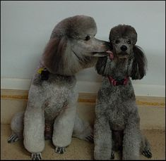 BIBELOT Standard Poodles - Silver standard poodles - Photo Gallery