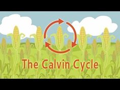 Nature's smallest factory: The Calvin cycle - Cathy Symington