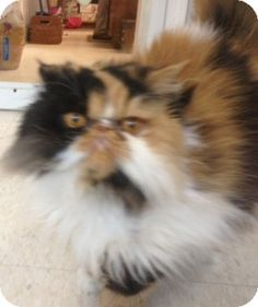 Columbia, SC - Persian. Meet Gracie a Cat for Adoption.