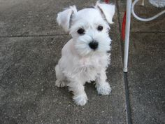 cute little white schnauzer! I love my all black schnauzer! Miniature Schnauzer Puppies, Schnauzer Puppy, Schnauzers, Black Schnauzer, Love Pet, I Love Dogs, Cute Puppies, Cute Dogs, Baby Animals