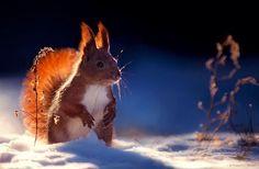 Squirrel in the snow by Sergey Polyushko on Garden Animals, Nature Animals, Animals And Pets, Cute Animals, Tier Wallpaper, Animal Wallpaper, Wild Life, Amazing Animals, Photo Animaliere