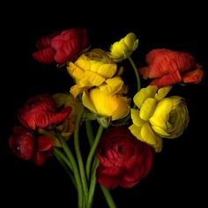 BURSTIN' OUT ALL OVER... RANUNCULUS. by Magda Indigo - Photo 149048555 - 500px