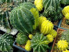 Echinopsis variegado