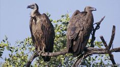 Project targets 2016 for Asian #vultures release