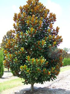D D Blanchard Magnolia - Yahoo Search Results