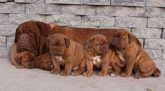 Dogue De Bordeauxs(Bordeaux Mastiffs)....love them.  http://www.thevinyardbordeauxs.com/index.html