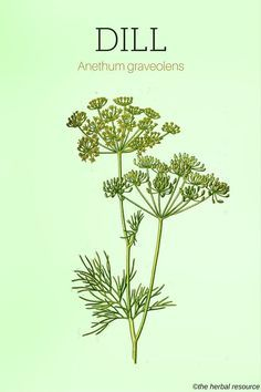 The Medicinal Herb Dill (Anethum graveolens) Vitamin A and C rich. Can help with insomnia, hiccoughs, diarrhea, and menstrual and respiratory disorders. Powerful boost to the immune system. Anti-inflammatory Can protect against Arthritis, Herbal Plants, Medicinal Plants, Natural Herbs, Natural Healing, Natural Medicine, Herbal Medicine, Herbal Remedies, Natural Remedies, Herbs For Health