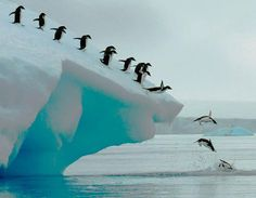 Adelie penguins group dive ~ Antarctic Peninsula