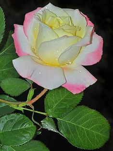 Beautiful Rose Flowers, Love Rose, Amazing Flowers, Smelling Flowers, Rainbow Roses, Floral Backdrop, Flower Aesthetic, Flower Making, Planting Flowers