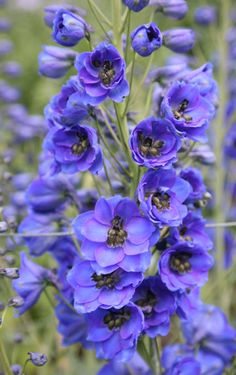 Delphinium - my latest and greatest flower discovery. Fresh Flowers, Blue Flowers, Beautiful Flowers, Cottage Garden Plants, Blue Garden, Blue Delphinium, Delphiniums, Garden Bird Feeders, Dame Nature