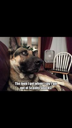 They know you eat them all! #dogs #pets #GermanShepherds facebook.com/sodoggonefunny