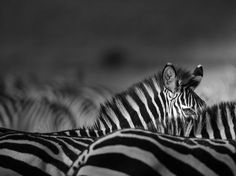 Zebra in Kenya