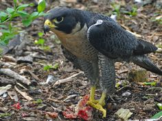 It's a bird, it's a plane, it's a---UFO? Those of us who watch birds are forever on the look-out for peregrine falcons, but most of us rarely see one. Listen here to the tale of a day I got lucky.