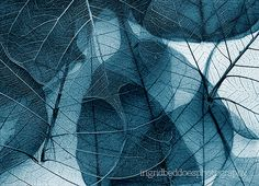 skeleton leaves photograph delicate in blue macro by IngridBeddoes, $15.00