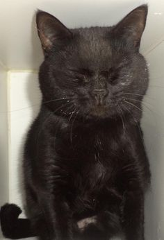 Adopted!! >> URGENT! Meet C02-029(02/24/14) a Petfinder adoptable Domestic Short Hair Cat | Akron, OH | Adopting a friend~Dogs (and puppies) are $ 90.00 : $ 76.00 for the adoption / $ 14.00 for the...