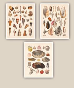 Seashells collection Prints, 8x10 nautical prints, set of 3, tea stained background,vintage shabby chic, beach cottage decor via Etsy