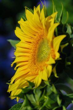 Sunflower. Photo by Kristine Gazzo.