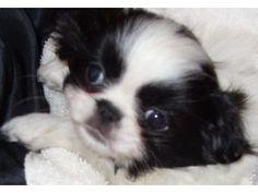 Japanese Chin pup