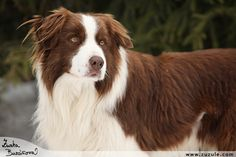 Border Collie....I like this one.....I think we'll get one for my Lani as soon as he's better....