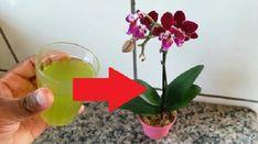 """Čím """"nakŕmiť"""" paradajky počas leta? Dajte im 3 dávky tejto zmesi a budú rodiť až do októbra! Aloe Vera, Globe, Vase, Euro, Plants, Speech Balloon, Plant, Vases, Planets"""