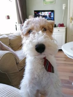 14 Cute Fox Terriers That Will Not Leave You Indifferent Fox Terriers, Perro Fox Terrier, Wirehaired Fox Terrier, Wire Fox Terrier, Baby Dogs, Dogs And Puppies, Doggies, Pet Fox, Purebred Dogs