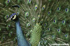 Animais - RepLago - Rep Lago - Acampamento - Natureza - Verde - mata - bicho -  ave - Pavão Pavo cristatus - pavão