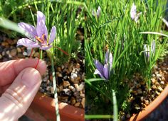 grow your own saffron! grows well in the UK, so no problem in germany either i guess.