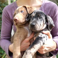 Bilbo and Bree of Shooting Star Catahoulas Cute Puppies, Cute Dogs, Catahoula Cur, Leopard Dog, Large Dog Breeds, Hound Dog, Puppy Pictures, Best Dogs, Cats And Kittens