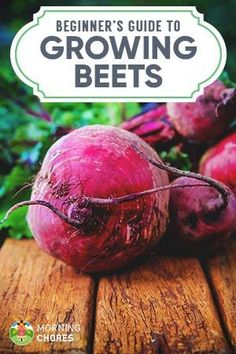 Growing Beets: A Complete Guide on How to Plant, Grow, & Harvest Beets