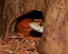 Decorating a corn snake terrarium is about more than making it look pretty. Corn snake accessories actually play a key role in ensuring its wellbeing.