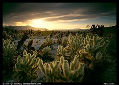 Cholla are like the Muppets of the desert. This was taken in the Cholla Cactus Garden at Joshua Tree National Park by QT Luong, from his blog at terragalleria.com