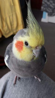 Clio the cockatiel