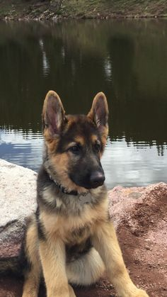 German Shepherd Puppy, I'd take you camping and canoeing all the time you little cutie pie